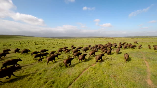 Chasing the herd across the plain