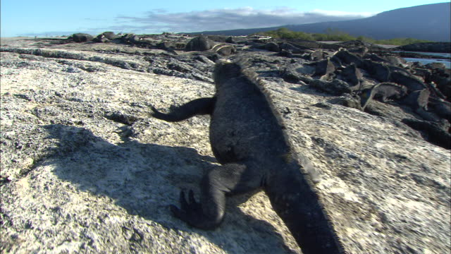 ws pov chasing the iguana in galapagos islands / punta espinosa, galapagos islands, ecuador - galapagos islands stock videos & royalty-free footage