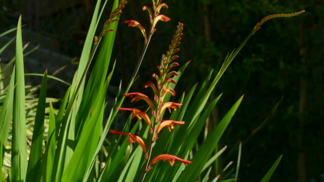4k chasmanthe floribunda a spiky leafed plant with orange flowers zoom in - plant bulb stock videos & royalty-free footage