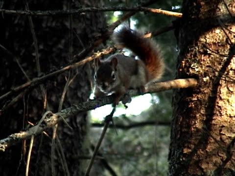 チャタリングのリス - よじ登る点の映像素材/bロール