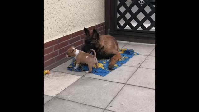 check out how calm this sweet dog is with a pair of puppies. cuteness overload! - pair stock videos & royalty-free footage