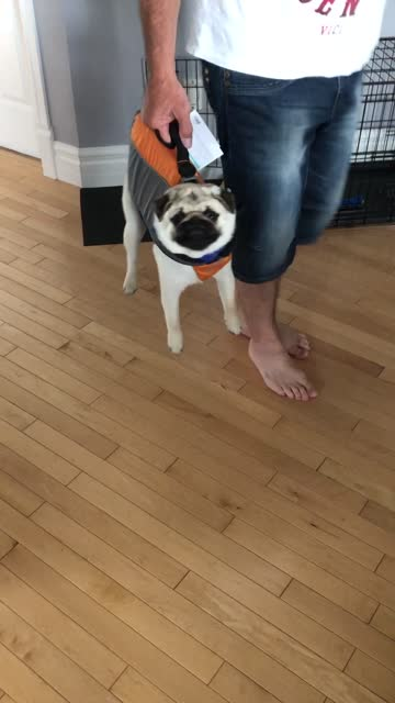 check out how convenient this lifejacket is as it also serves as a suitcase for this pug! hilarious! - life jacket stock videos & royalty-free footage