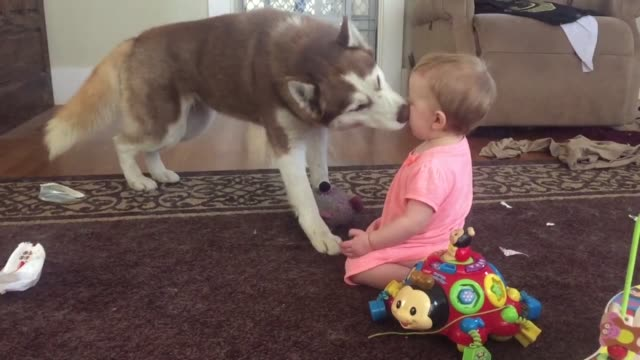 check out the adorable playtime between a siberian husky and a little girl after playing with a toy together this friendly dog plants a big old kiss... - siberian husky stock videos & royalty-free footage