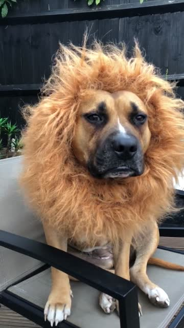 check out this dog's amazing outfit for halloween. how cool is that? - tamdjur bildbanksvideor och videomaterial från bakom kulisserna