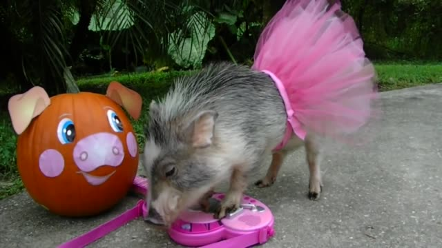 check out this pig's halloween costume as it learns how to play the guitar how cool is that - kostümierung stock-videos und b-roll-filmmaterial