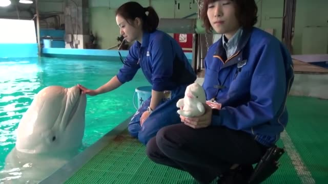 check out this talented beluga at the kamogawa sea world in japan as it speaks on command to its trainer. so cool! - instructor stock videos & royalty-free footage
