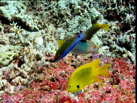 checkerboard wrasse, rusty parrotfish and sulphur damselfish eat coral - imperfection stock videos & royalty-free footage