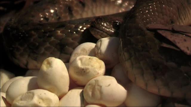 Kariertes keel der Schlange Incubation von Eiern