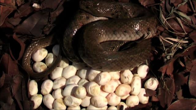 checkered keel back snake Incubation of Eggs