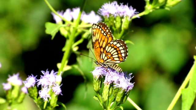 vidéos et rushes de , papillon papillon - des papillons dans le ventre