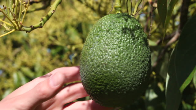 checking an avacado - branch plant part stock videos and b-roll footage