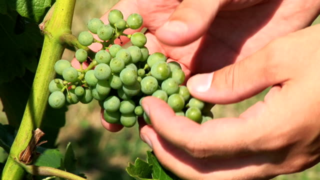 hd: checking grapes - grape leaf stock videos and b-roll footage