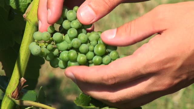 HD: Checking Grapes
