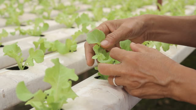 HD : Checking leaf of Hydroponic Vegetable