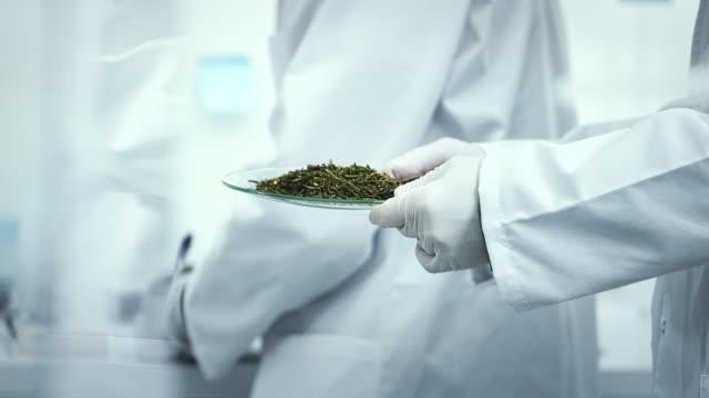 checking medical marijuana. laboratory worker holding sample - marijuana herbal cannabis stock videos & royalty-free footage