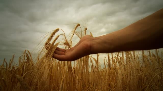 stockvideo's en b-roll-footage met hd dolly: checking the growth of wheat - volkorentarwe