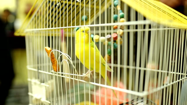 Cheerful Budgerigar In Yellow Cage