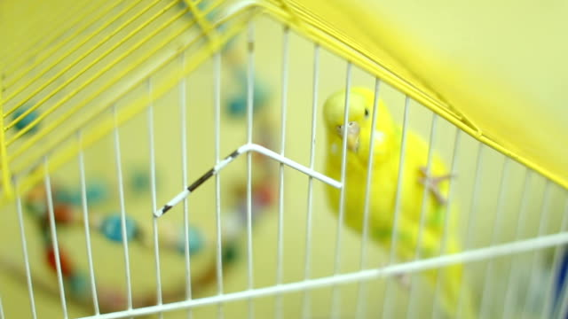 cheerful budgerigar in yellow cage - budgerigar stock videos & royalty-free footage