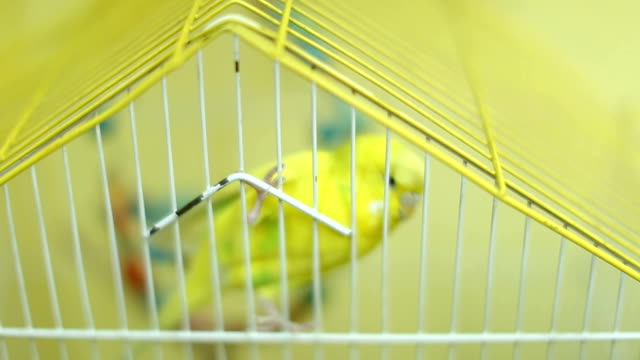 cheerful budgerigar in yellow cage - petshop stock videos and b-roll footage