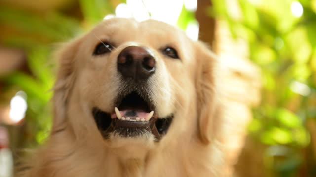 cheerful golden retriever dog - golden retriever stock videos & royalty-free footage
