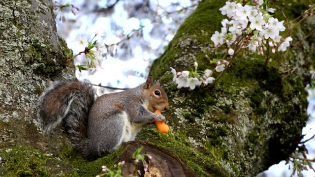 cheese puff squirrel - university of washington stock videos & royalty-free footage