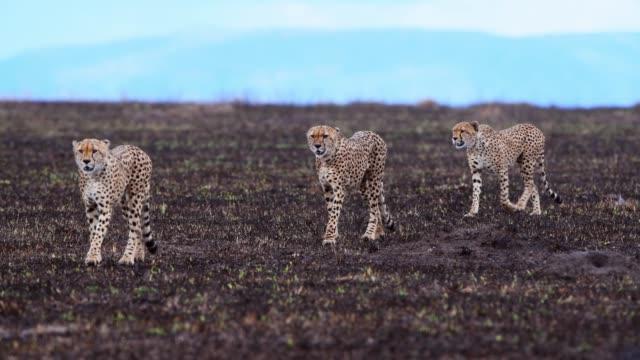 cheetah, acinonyx jubatus, 4 brothers walking , masai mara national reserve, kenya, africa - cheetah stock videos & royalty-free footage
