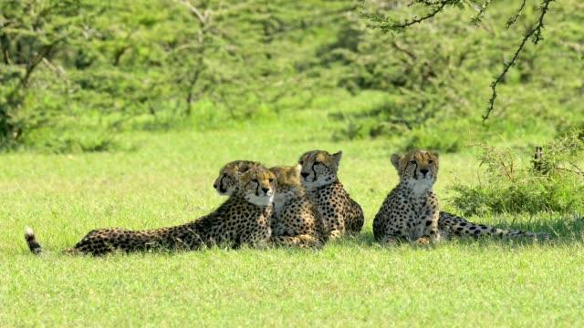 Cheetah, Acinonyx jubatus, five brothers, Masai Mara National Reserve, Kenya, Africa