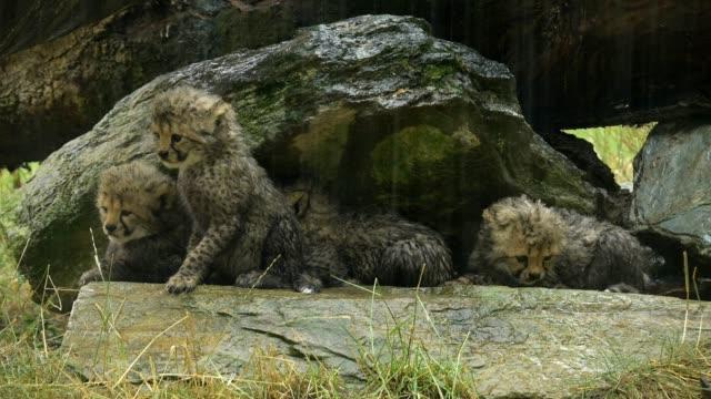 vídeos de stock e filmes b-roll de cheetah, acinonyx jubatus, four young - grupo pequeno de animais