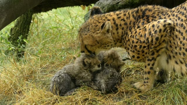 cheetah, acinonyx jubatus, mother with young - big cat stock videos & royalty-free footage