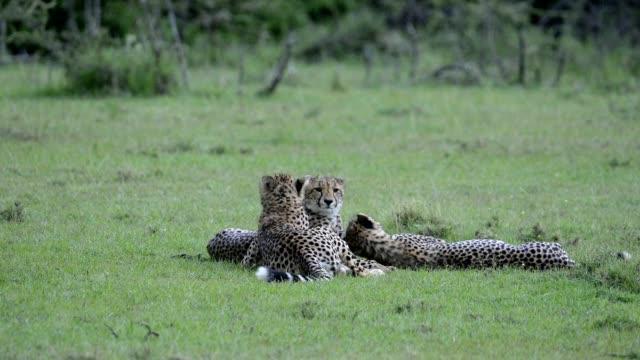 Cheetah, Acinonyx jubatus, three brothers, Masai Mara National Reserve, Kenya, Africa