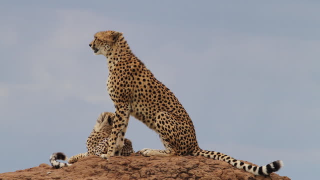 A cheetah and her cub on top of a rock