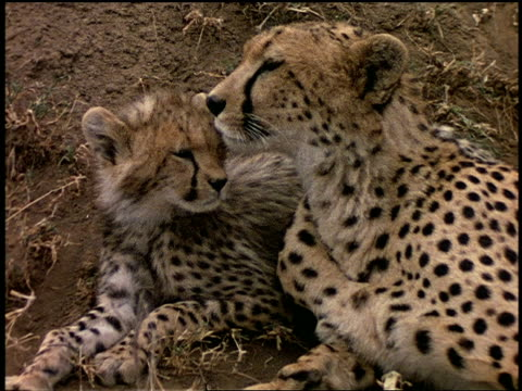a cheetah and her cub rest on the serengeti. - affectionate stock videos & royalty-free footage