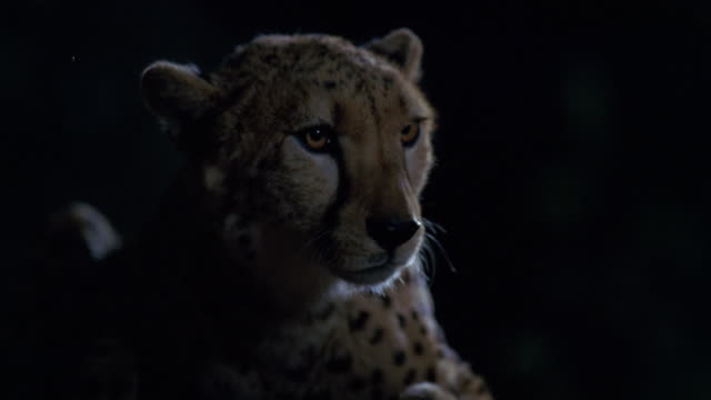 vídeos y material grabado en eventos de stock de cu cheetah at tree / unspecified  - felino grande