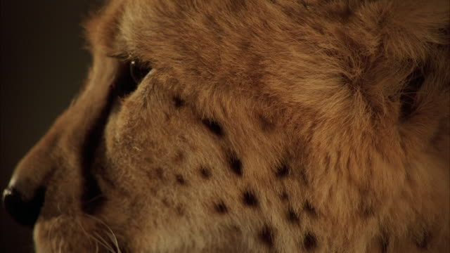 cu cheetah blinking eyes / unspecified - cheetah stock videos and b-roll footage