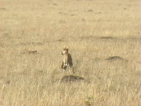 ws cheetah carrying young gazelle  - cacciare video stock e b–roll
