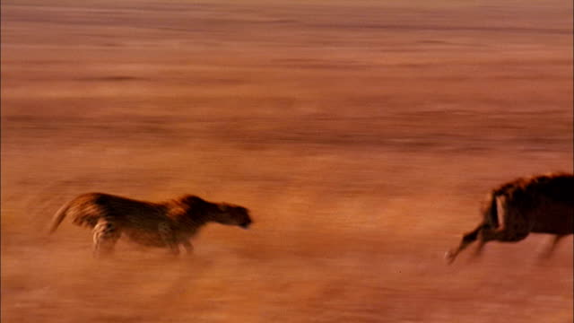 a cheetah chases a hyena away from her cubs. - mammal stock videos & royalty-free footage