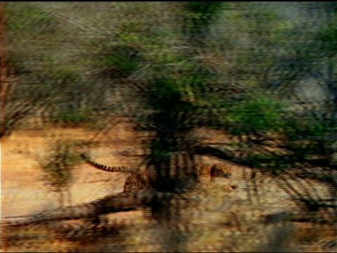 a cheetah chases an impala across the african savanna. - antelope stock videos & royalty-free footage