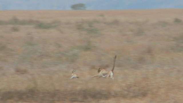 vidéos et rushes de a cheetah chases and catches a small gazelle - poursuivre