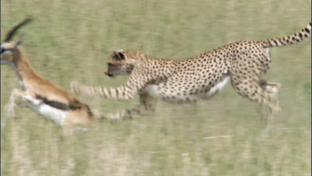 vidéos et rushes de cheetah (acinonyx jubatus) chases and catches thomson's gazelle (eudorcus thomsonii), masai mara, kenya - chasser