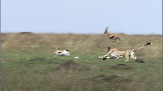 Cheetah (Acinonyx jubatus) chases and catches Thomson's gazelle (Eudorcus thomsonii), Masai Mara, Kenya