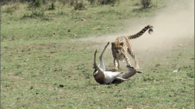 cheetah (acinonyx jubatus) chases and catches thomson's gazelle (eudorcus thomsonii), masai mara, kenya - cheetah stock videos and b-roll footage