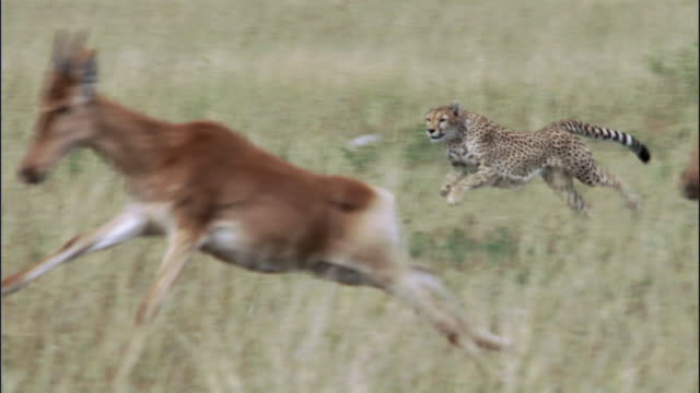 cheetah (acinonyx jubatus) chases hartebeest calf (alcelaphus buselephus), masai mara, kenya - animals hunting stock videos and b-roll footage