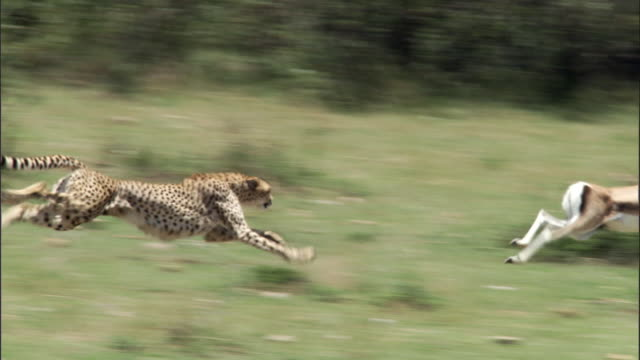 cheetah (acinonyx jubatus) chases thomson's gazelle (eudorcus thomsonii), masai mara, kenya - pursuit concept stock videos & royalty-free footage