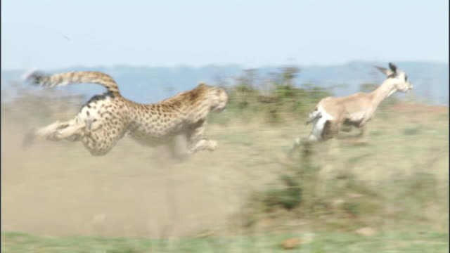 cheetah (acinonyx jubatus) chases thomson's gazelle (eudorcus thomsonii), masai mara, kenya - cheetah stock videos and b-roll footage