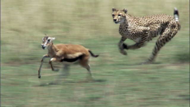 cheetah (acinonyx jubatus) chases thomson's gazelle (eudorcus thomsonii), masai mara, kenya - animals hunting stock videos and b-roll footage