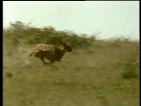 Cheetah chases Thomson's Gazelle on savanna and brings it down