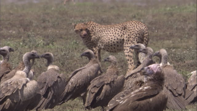 cheetah chases vultures away from kill. available in hd. - dead animal stock videos & royalty-free footage