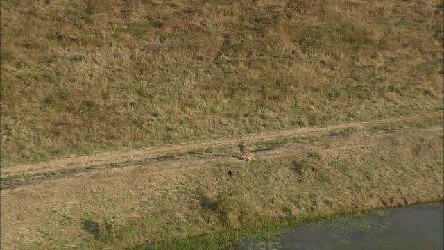 vídeos de stock, filmes e b-roll de aerial ws cheetah chasing warthog through savannah, phinda nature reserve, kwazulu natal, south africa - república da áfrica do sul
