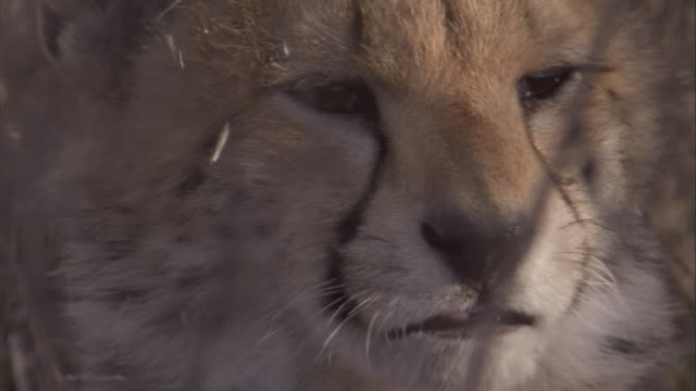 A cheetah cub licks its nose. Available in HD.
