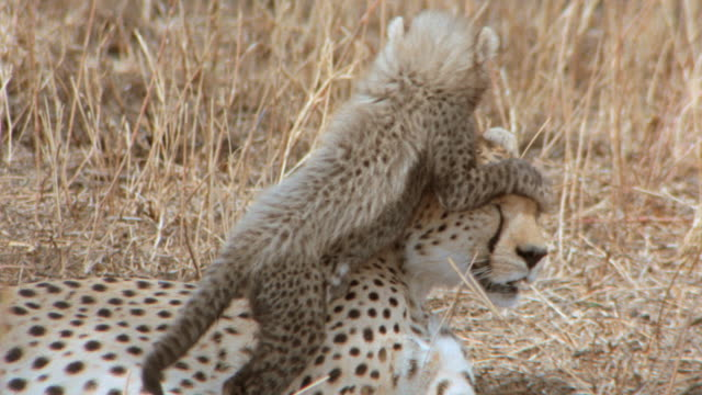 a cheetah cub playfully attacks its mother. - young animal video stock e b–roll